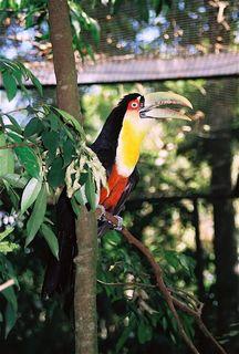 Brazil_birdpark_toucan