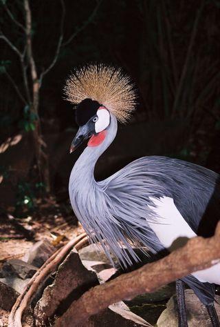 Brazil_birdpark_blackcrownedcrane