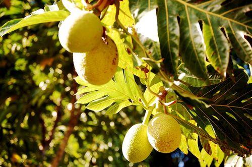 Limahuli Breadfruit