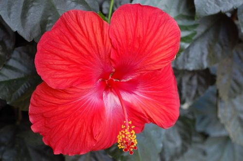 Flowers_hibiscus