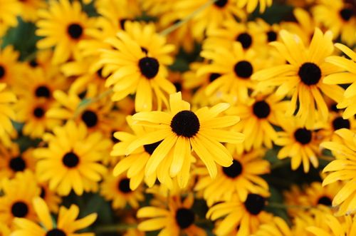 Flower_blackeyed_Susan