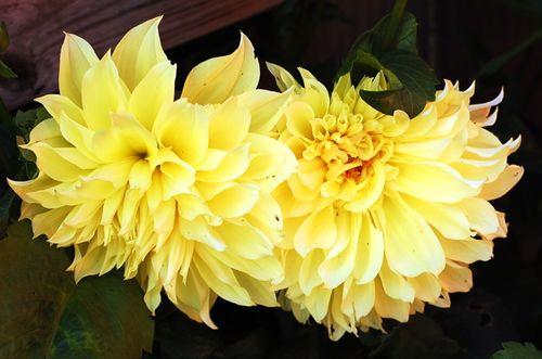 Flower_dahlia