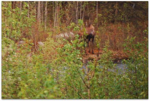 Moose blur