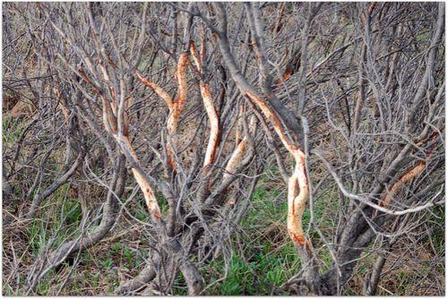 Denali gnawed branches