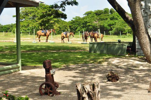 Jamaica Horses