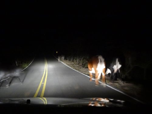 Maui Cows