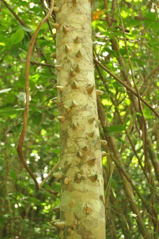 Jamaica Macca Tree