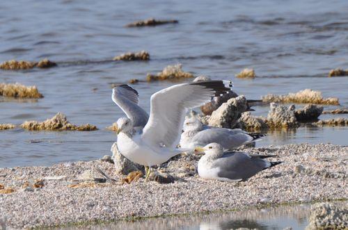 Salton Sea Gull
