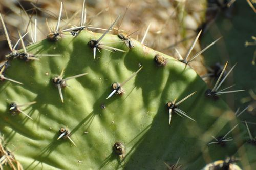 Saguaro Prickly Pear Close up
