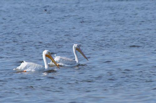 Salton Sea American White Pelicans Swimming