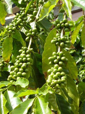 02Coffee on tree P1350890