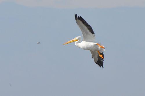 Salton Sea American White Pelican Flight