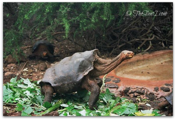 Lonesome George Body